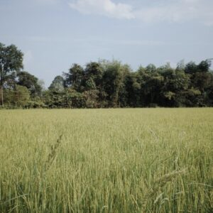 Thailand seeks new rice varieties to reclaim position as rice export champ